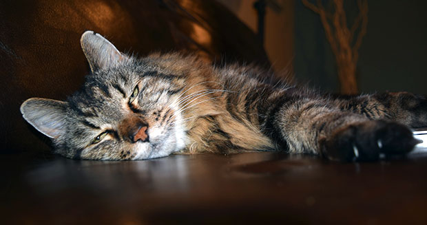 oudste-maine-coon-corduroy